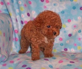 Teacup Poodles Nasville